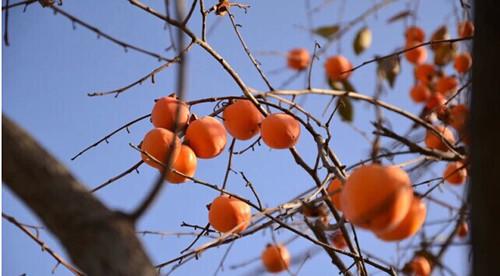 野柿子图片